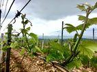 На Херсонщине виноградники обогреют школы
