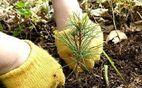 На Полтавщине в этом году высадят более тысячи гектаров леса